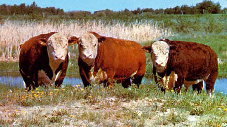 Кормление КРС молочного направления, корма для коров